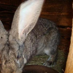 чистопородные кролики, кролики великаны,  в т. ч. ризены,  фландры. колле