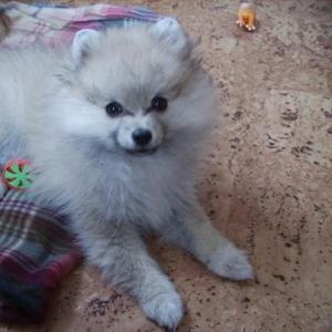 Продаётся очаровательный щенок померанского шпица!