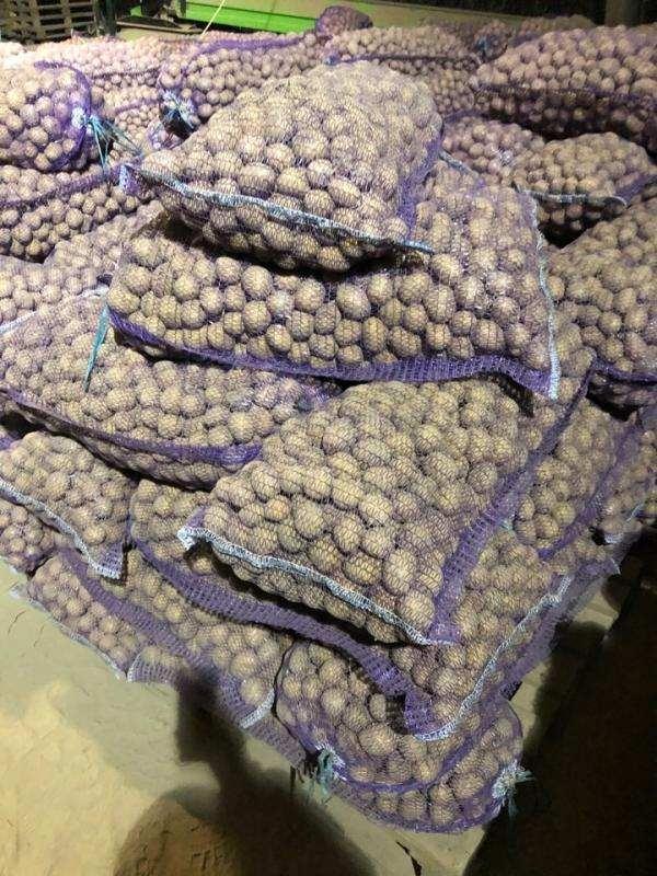 Картофель семенной,  сорт Гала 2