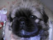 Продам симпатичных щенков пекинеса